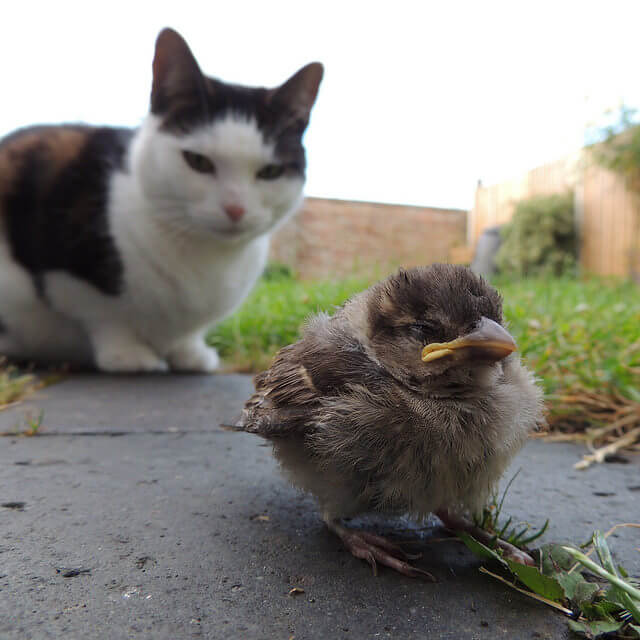 Sparrow Hunted by Cat