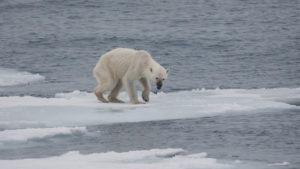 Endangered arctic Starving Polar Bear thin