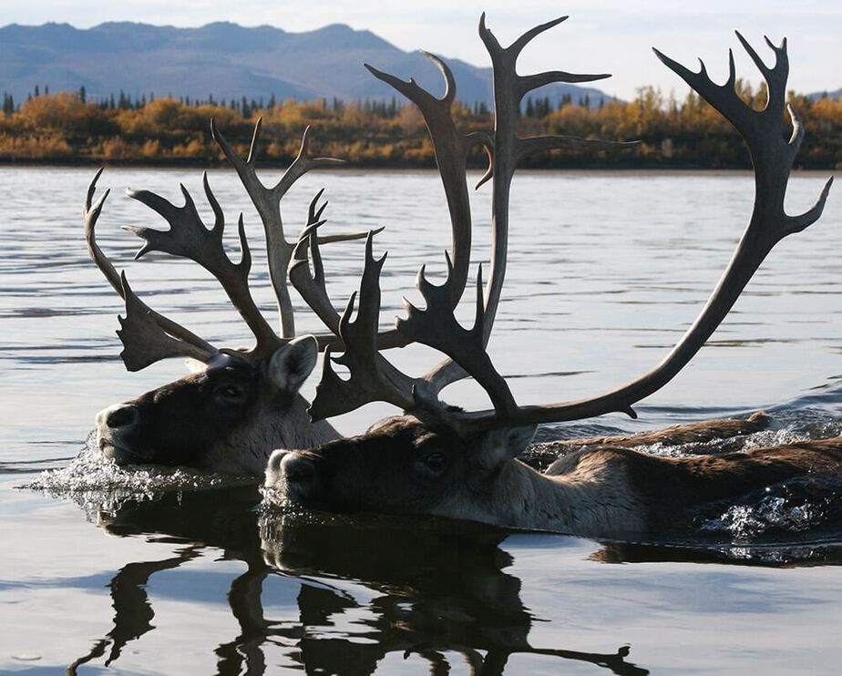 North America's largest porcupine caribou